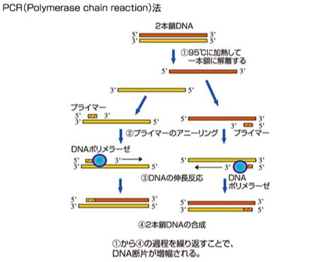 PCR 原理